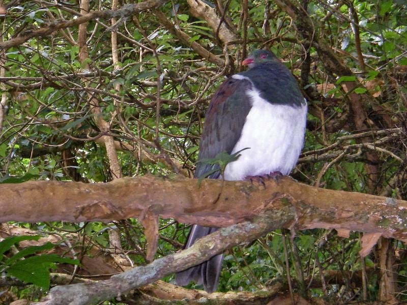 Wood Pigeon (Hemiphaga novaeseelandiae)