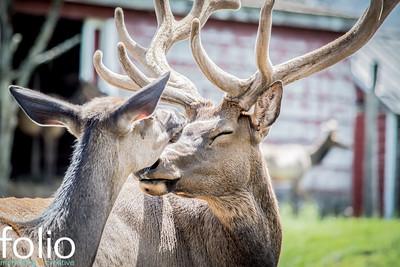 Kissing Elk