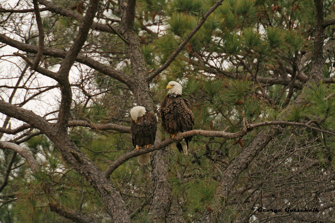 Norfolk Eagles Courting