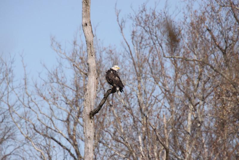 Slightly ruffled bald eagle.