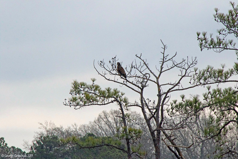 Juvenile bald eagle at College Creek on the Colonial Parkway