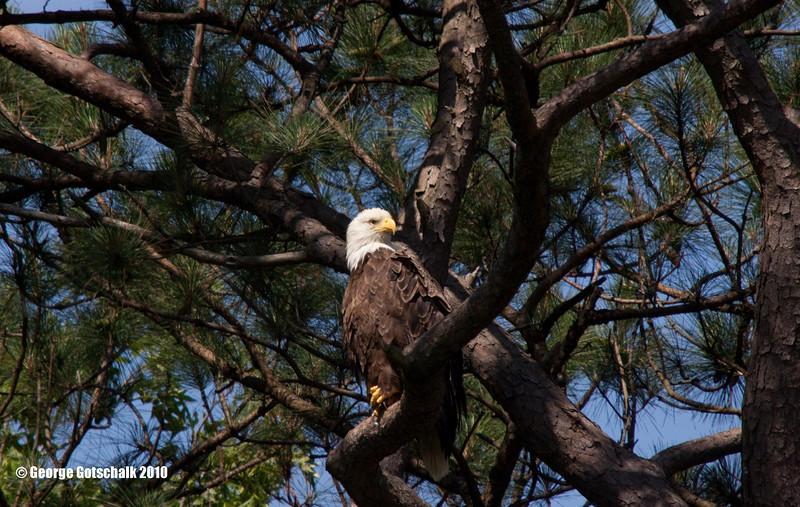 Norfolk Botanical eagle parent