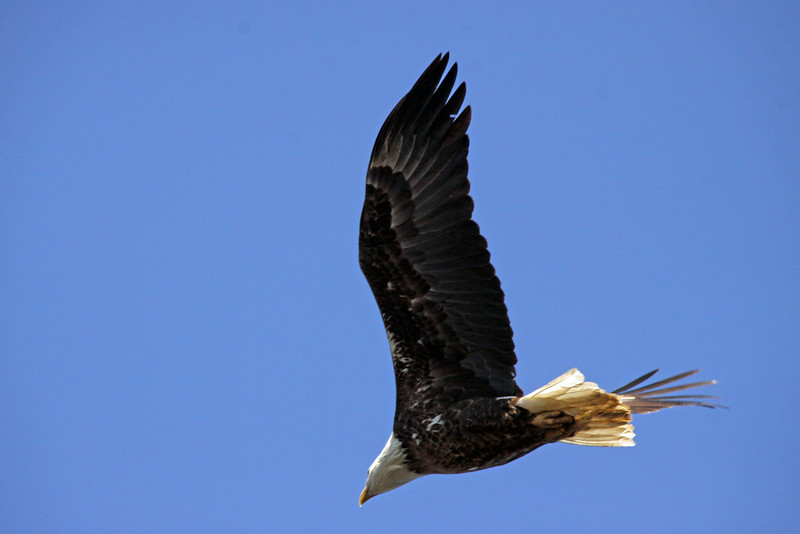 Eagle flew directly over my head. Last second shot
