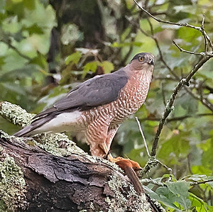 Cooper's Hawk with Catch