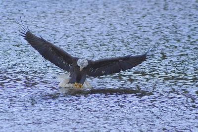 Eagles Sullivan County NY 2010
