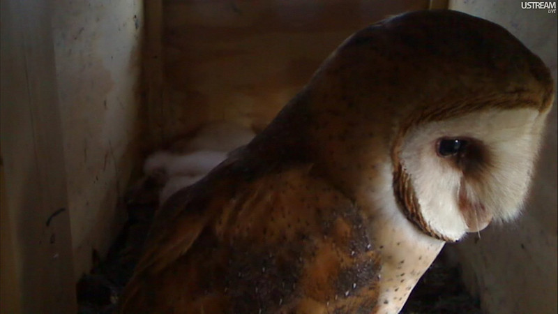 Syd-the momma owl.  She is so beautiful and gentle with the little ones, but deadly on the mice & rodents in CA.  Afterall she has 6 hungry babies to feed.