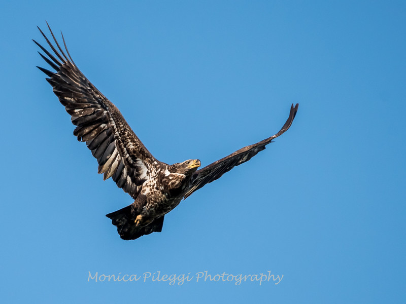 Conowingo-Dam-Eagles_19-March-2017-0406