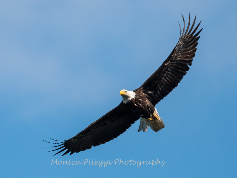 Conowingo-Dam-Eagles_19-March-2017-0357