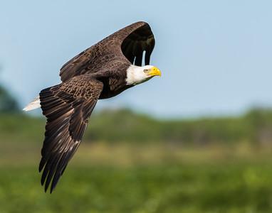 Eagles at Lake Kissimmee