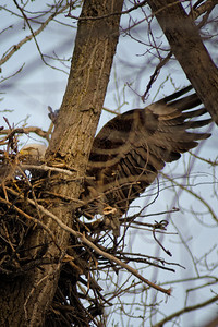 Landing on nest - Minnesota