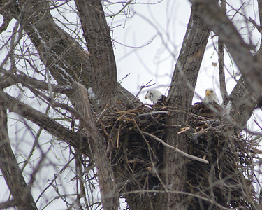 Mom and Dad nesting - Minnesota