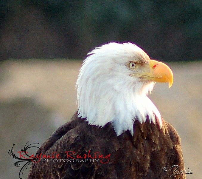 Eagles of Juneau
