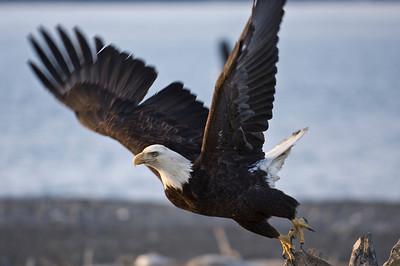 Bald Eagle 0022
