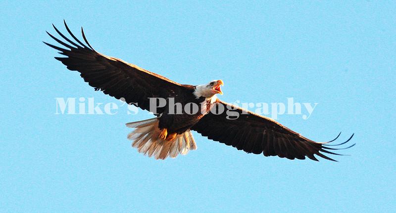 1_eagle_229791 c