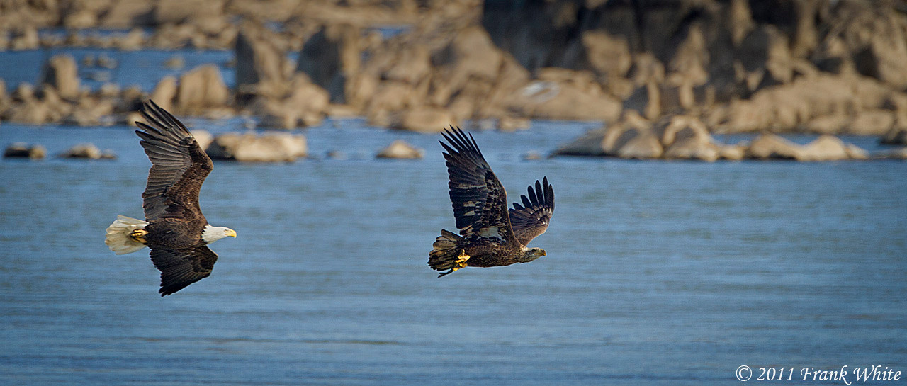 Mature bald eagle chasing a juvenile bald eagle