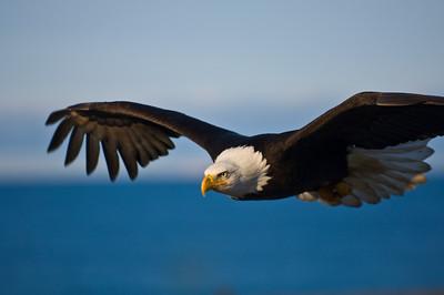 Bald Eagle 0005