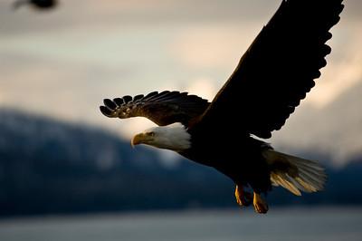 Bald Eagle 0020