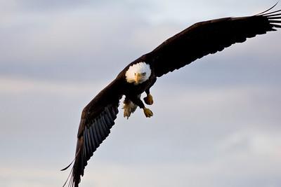 Bald Eagle 0016