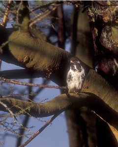 "Martial eagle in Kenya, hard to see in the tree shadow, but our guides were ""eagle eyed"""
