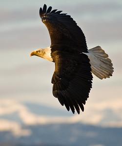 Bald Eagle 0011
