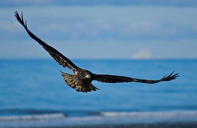 Bald Eagle 0015