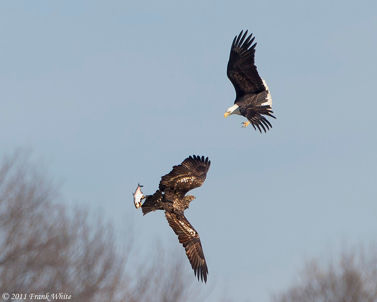 Eagles fighting