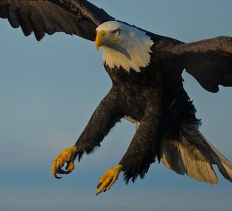 Bald Eagle 0004
