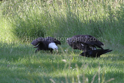 Male bald eagle should know better than to steal food from an immature female bald eagle.  See what happens next.