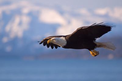 Bald Eagle 0007