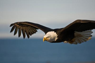 Bald Eagle 0030