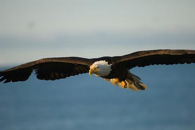 Bald Eagle 0031
