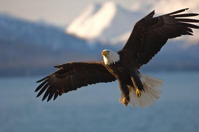 Bald Eagle 0001