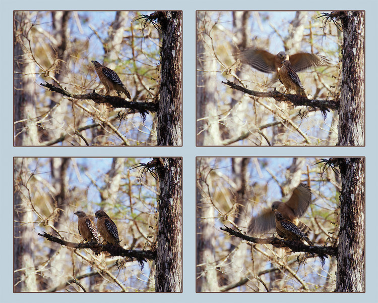 Red shouldered hawks mating in Corkscrew Swamp Audubon nature area.  Female calls, male arrives, they mate and sit for a minute.  Four in a sequence of about 30 composited.