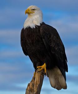 Bald Eagle 0002