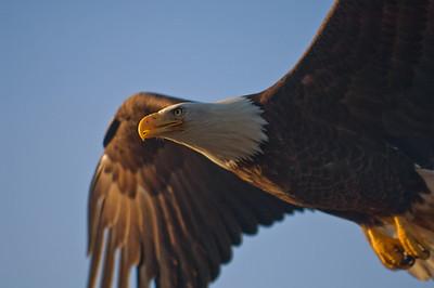 Bald Eagle 0009