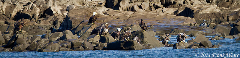 There are 10 bald eagles (matures and juveniles) on the rocks!