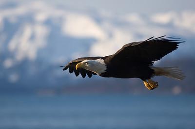 Bald Eagle 0026