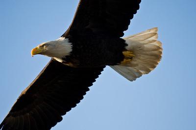 Bald Eagle 0037