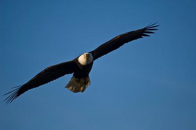 Bald Eagle 0025