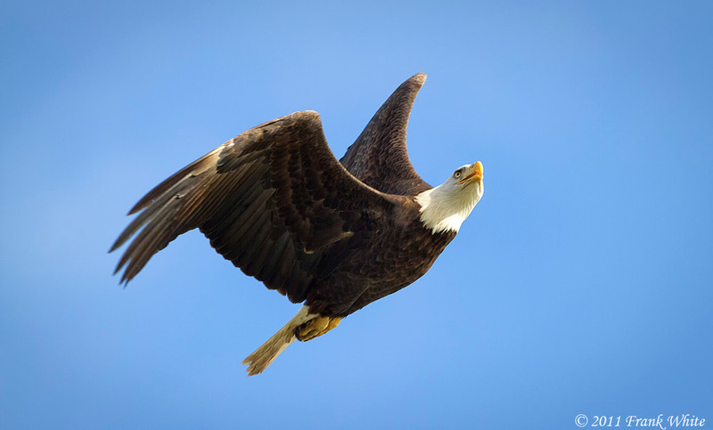 Mature bald eagle in flight.  Taken 11/13/11