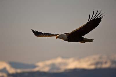 Bald Eagle 0008