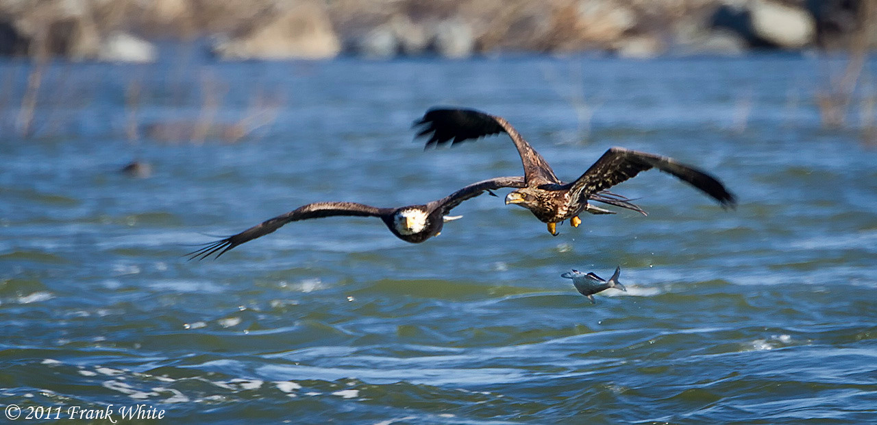 Eagles fighting over a fish - the juvenile just dropped it