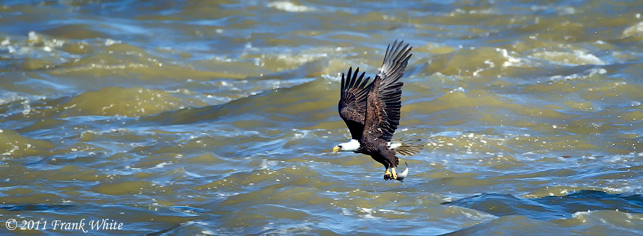 Mature bald eagle with fish