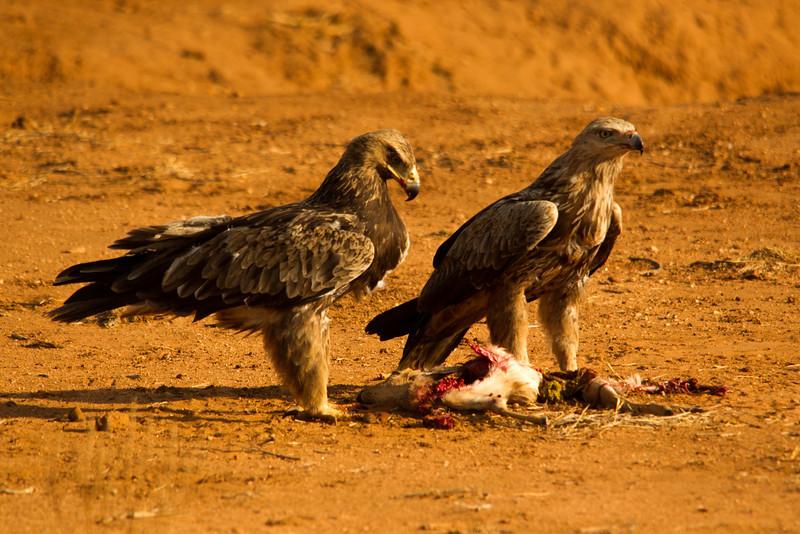 Pair of tawny eagles eating a Dik dik