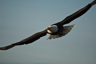 Bald Eagle 0028
