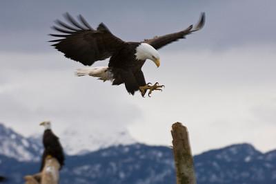 Bald Eagle 0039