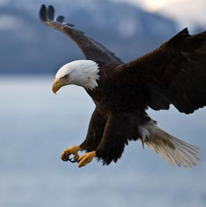 Bald Eagle 0021