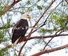 1_eagle_229977 c