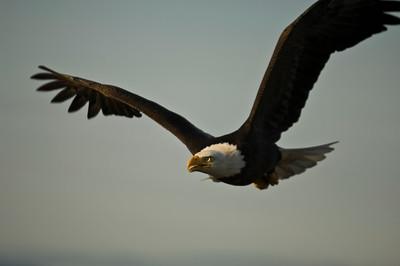 Bald Eagle 0029