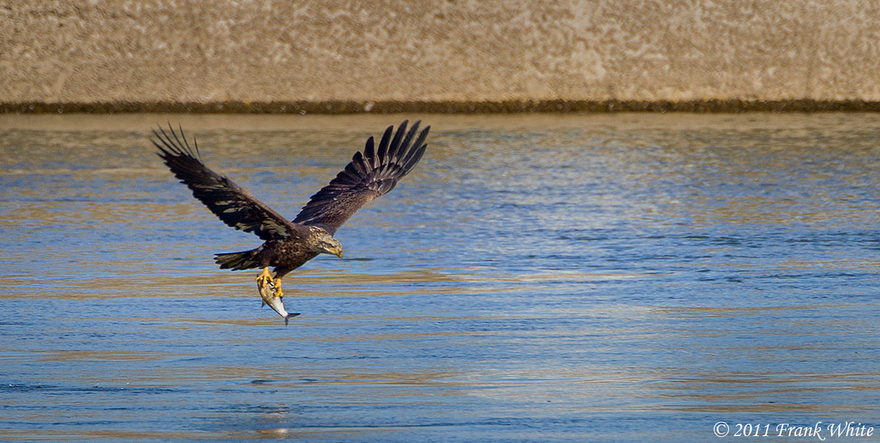 Juvenile bald eagle with a fish